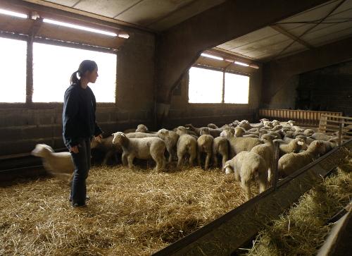 Capucine observe quelques agneaux