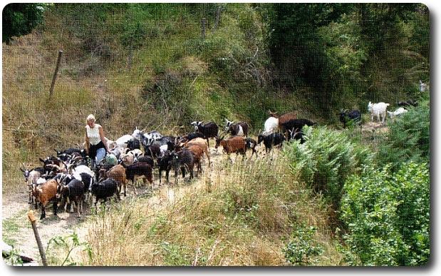 Remonté d'un troupeau de chèvres des rives de l'Allier