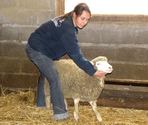Capucine réalise la contention d'un agneau