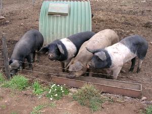 Quelques porcs gourmands de châtaignes