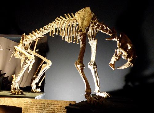 Squelette de tigre à dents de sabre