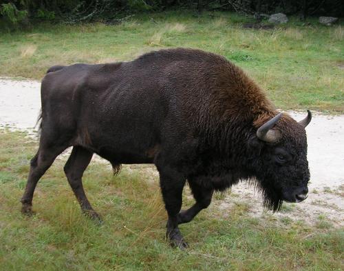 Un mâle adulte dans le Parc aux bisons d'Europe