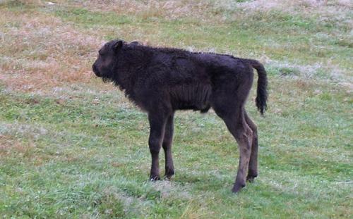 Un bisonneau un peu à l'écart de sa harde