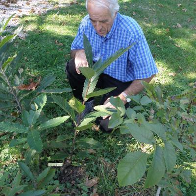 Joseph Labrunie observe un plant de châtaignier