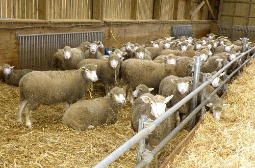 Une partie du troupeau du Chesnoy